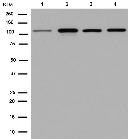 Western blot - Anti-C1orf101 antibody [EPR12913] (ab182566)