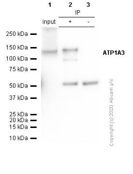 Immunoprecipitation - Anti-ATP1A3 antibody [EPR14137] - N-terminal (ab182572)