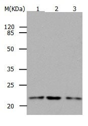 Western blot - Anti-RAP1B antibody (ab182606)
