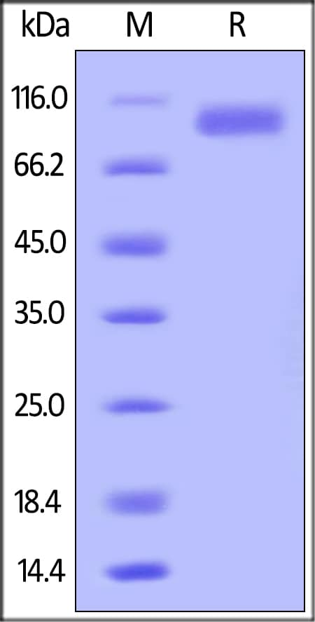 SDS-PAGE - Recombinant human ErbB 2 protein (Strep-tag) (ab182691)