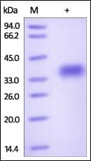 SDS-PAGE - Recombinant Mouse GPA33 protein (ab182694)