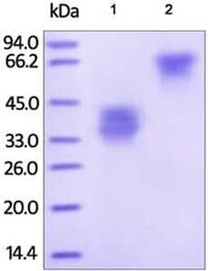 SDS-PAGE - Recombinant human TWEAKR/FN14 protein (Fc Chimera) (ab182702)