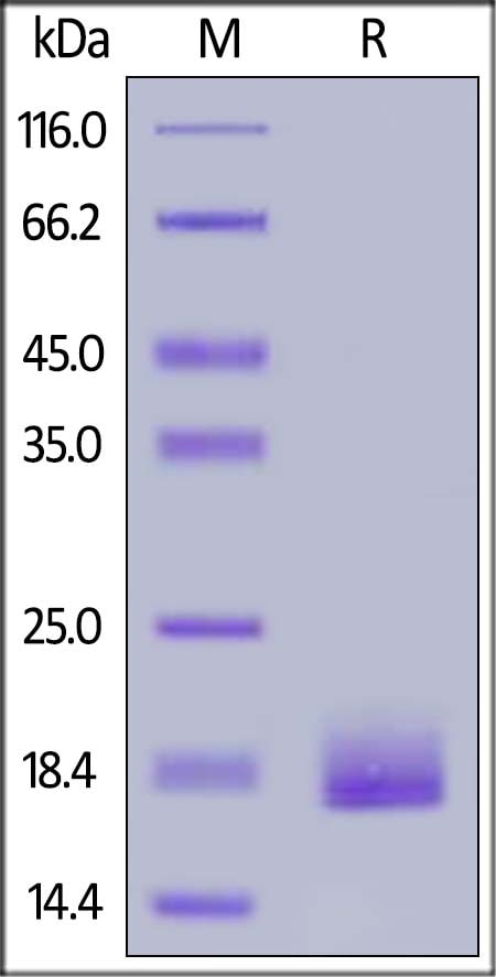 SDS-PAGE - Recombinant human LAIR2 protein (ab182705)