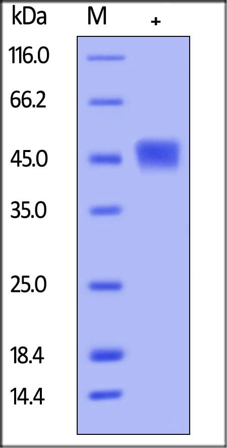 SDS-PAGE - Recombinant Human TIM 3 protein (ab182714)