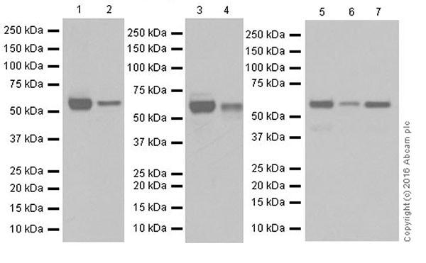 Western blot - Anti-AKT1 + AKT2 antibody [EPR17062] (ab182729)