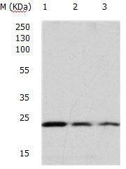 Western blot - Anti-GTPase HRAS antibody (ab182776)