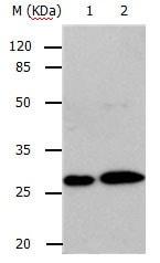 Western blot - Anti-Rab3C antibody (ab182778)