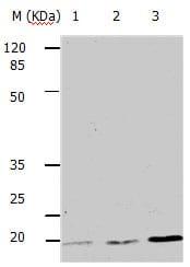 Western blot - Anti-PUMA alpha antibody - C-terminal (ab182788)