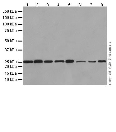 Western blot - Anti-Bcl-2 antibody [EPR17509] (ab182858)