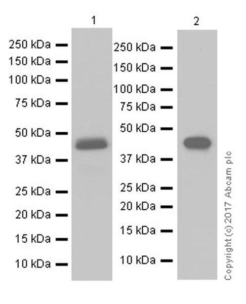 Western blot - Anti-PAI1 antibody [EPR17272-21] (ab182973)
