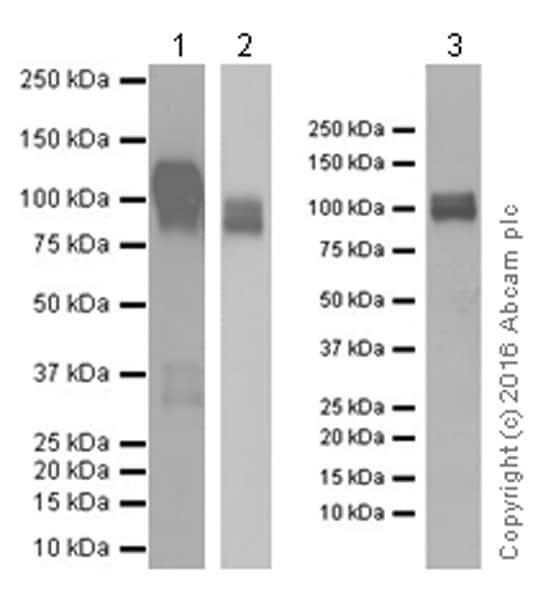Western blot - Anti-CD31 antibody [EPR17260-265] (ab182982)