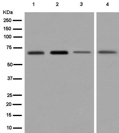 Western blot - Anti-NELF antibody [EPR8976(2)] (ab183022)