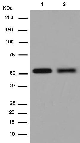 Western blot - Anti-Nova1 antibody [EPR13847] (ab183024)