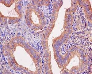 Immunohistochemistry (Formalin/PFA-fixed paraffin-embedded sections) - Anti-Seryl-tRNA synthetase/SERS antibody [EPR10685] (ab183025)
