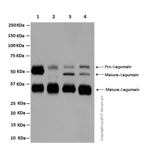 Western blot - Anti-Legumain antibody [EPR14718] (ab183028)