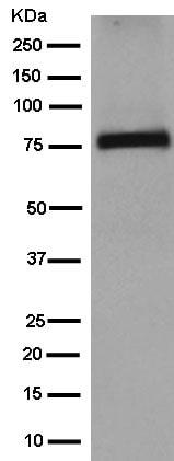 Western blot - Anti-TBR1 antibody [EPR8138(2)] (ab183032)