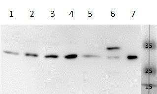 Western blot - Anti-VEGFA antibody (ab183100)