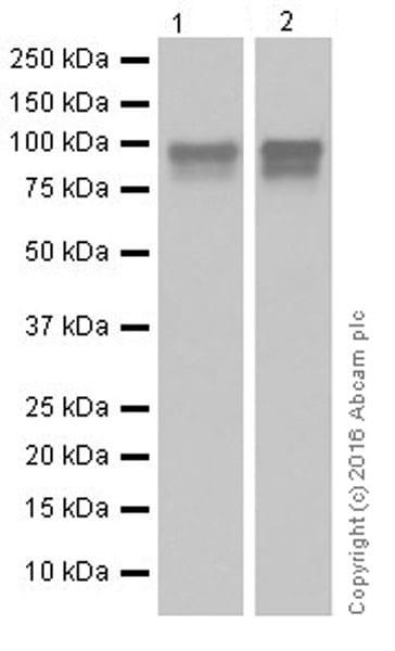 Western blot - Anti-Glucocorticoid Receptor antibody [EPR19621] (ab183127)