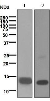 Western blot - Anti-TGF beta 1 + 2 antibody [EPR5443] - BSA and Azide free (ab183133)