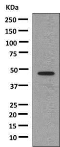 Western blot - Anti-Growth Hormone antibody [EPR9524] - BSA and Azide free (ab183135)