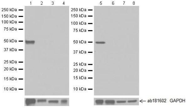 Western blot - Anti-Arc antibody [EPR18950] (ab183183)