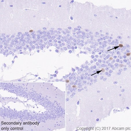 Immunohistochemistry (Formalin/PFA-fixed paraffin-embedded sections) - Anti-Arc antibody [EPR18950] (ab183183)