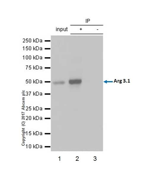 Immunoprecipitation - Anti-Arc antibody [EPR18950] (ab183183)