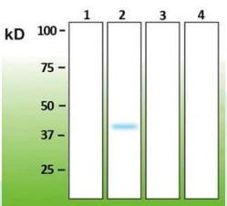Western blot - Anti-MAPK11 antibody [E13-Q] - C-terminal (ab183208)
