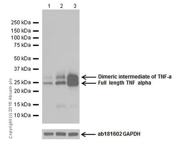 Western blot - Anti-TNF alpha antibody [EPR19147] (ab183218)