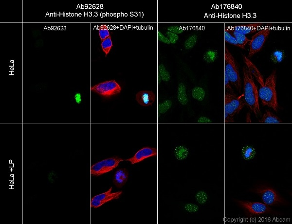 Immunocytochemistry/ Immunofluorescence - Anti-Histone H3.3 (phospho S31) antibody [EPR1873] - BSA and Azide free (ab183300)
