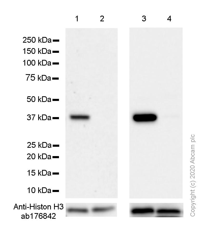 Western blot - Anti-Liver Arginase antibody [SP156] (ab183333)