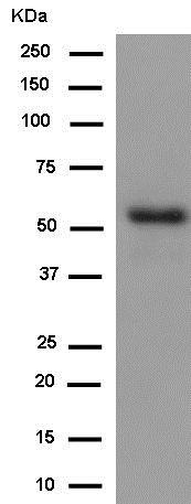 Western blot - Anti-Inhibin beta B antibody [EPR2787(2)] (ab183491)