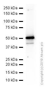 Western blot - Anti-PSS-2 antibody [EPR14663] - C-terminal (ab183504)