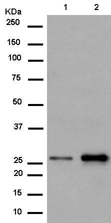 Western blot - Anti-PSMB10/MECL1 antibody [EPR14902] (ab183506)