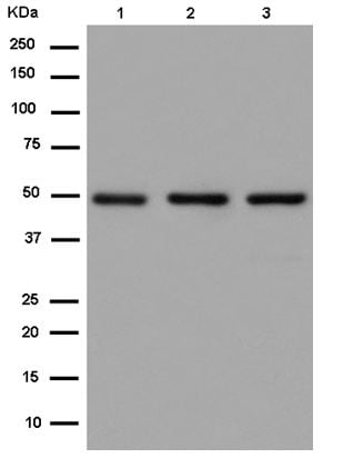 Western blot - Anti-ATG4C antibody [EPR15001] (ab183516)