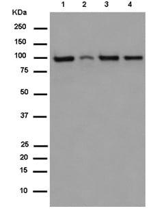 Western blot - Anti-TOP3B antibody [EP7779] - C-terminal (ab183520)