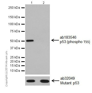 Western blot - Anti-p53 (phospho T55) antibody [EPR17729] (ab183546)