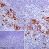 Immunohistochemistry (Formalin/PFA-fixed paraffin-embedded sections) - Anti-Cdk1 + Cdk2 (phospho T14) antibody [EPR17499] (ab183550)
