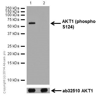 Western blot - Anti-AKT1 (phospho S124) antibody [EPR17680] (ab183556)