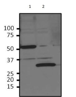 Western blot - Anti-Human Rhinovirus 3C protease antibody (ab183574)