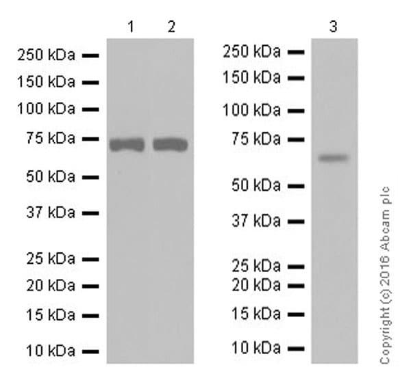 Western blot - Anti-Acetylcholinesterase antibody [EPR18978] (ab183591)