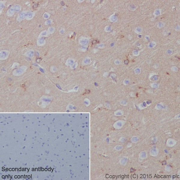 Immunohistochemistry (Formalin/PFA-fixed paraffin-embedded sections) - Anti-Apolipoprotein E antibody [EPR19378] (ab183596)