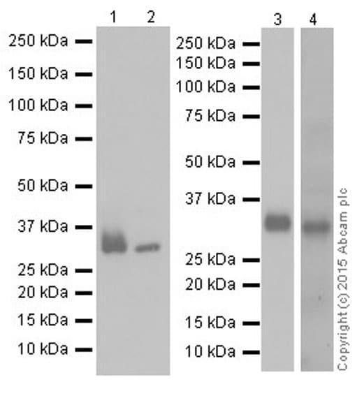 Western blot - Anti-Apolipoprotein E antibody [EPR19392] (ab183597)