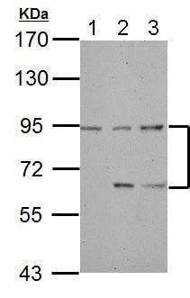 Western blot - Anti-DEPDC1 antibody (ab183620)