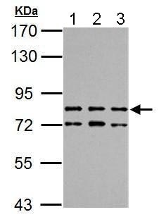 Western blot - Anti-TTC14 antibody (ab183624)