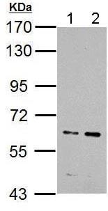 Western blot - Anti-IKZF4 antibody (ab183625)