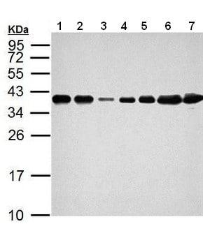 Western blot - Anti-hnRNP A2B1 antibody (ab183654)