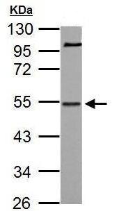 Western blot - Anti-NAB1 antibody (ab183657)