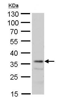 Western blot - Anti-MRG15 antibody (ab183663)