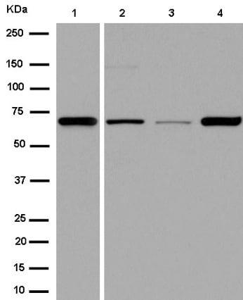 Western blot - Anti-Angiopoietin 1 antibody [EPR2888(N)] (ab183701)